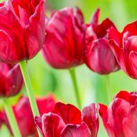 Tulips in Peace Hospice Garden