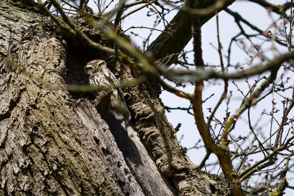 Owl in Cassiobury Park